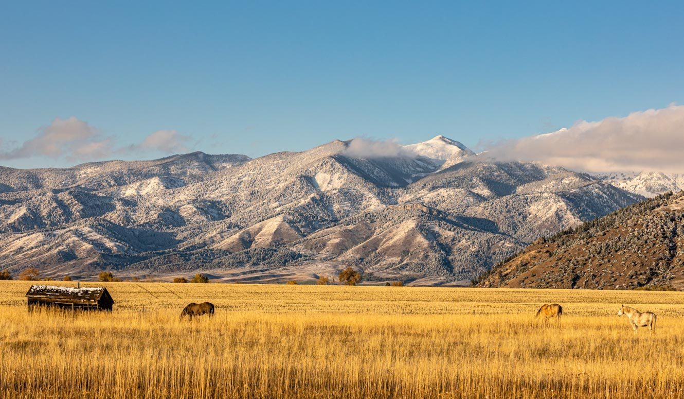 Golden field with horses and snow capped mountains.